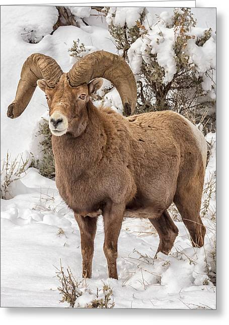 Rio Grande Bighorn Greeting Card