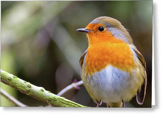 Robin. On Guard Greeting Card