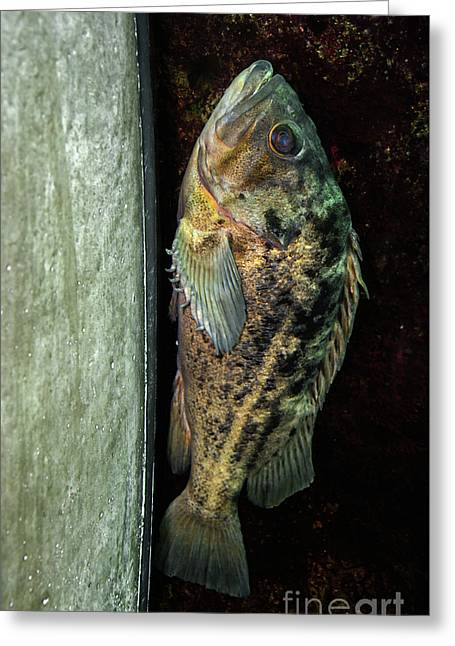 Rockfish Relaxing Greeting Card