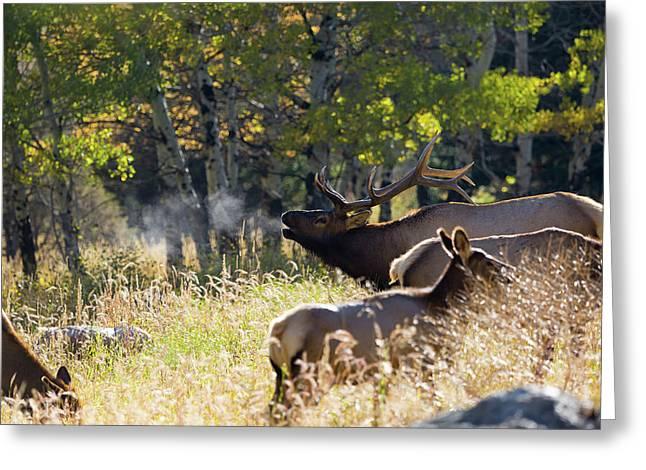 Rocky Mountain Bull Elk Bugeling Greeting Card