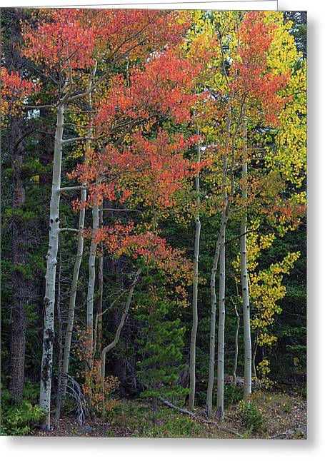 Greeting Card featuring the photograph Rocky Mountain Forest Reds by James BO Insogna
