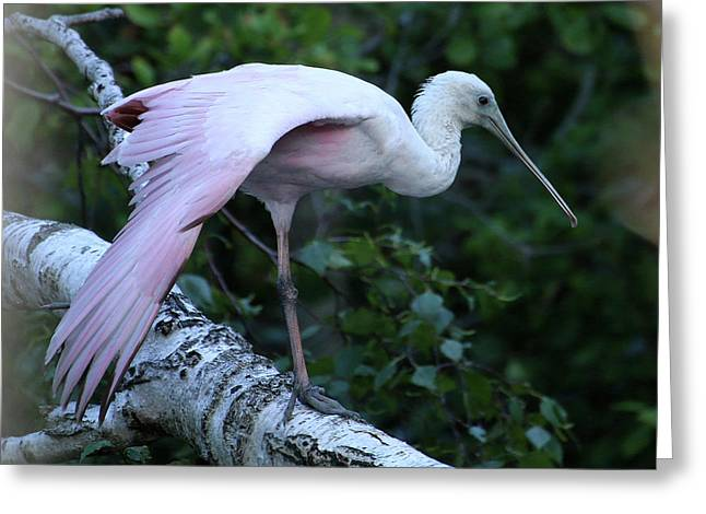 Roseate Spoonbill 02 Greeting Card