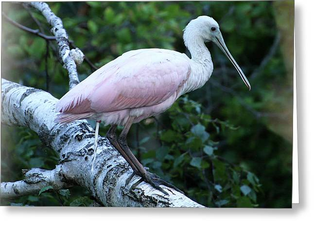 Roseate Spoonbill 05 Greeting Card
