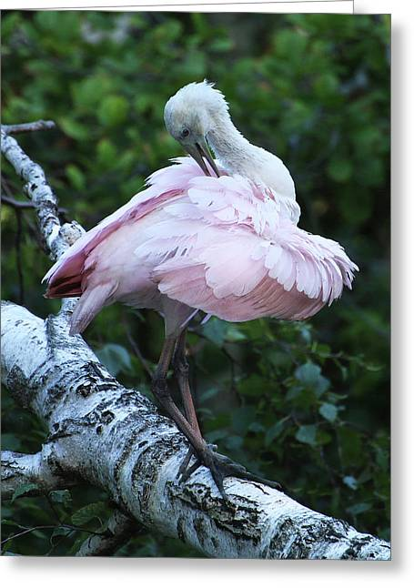 Roseate Spoonbill 07 Greeting Card