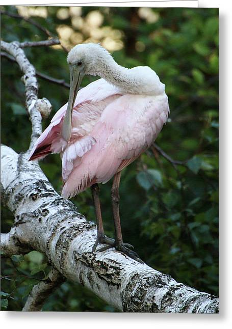 Roseate Spoonbill 10 Greeting Card