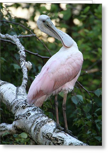 Roseate Spoonbill 15 Greeting Card