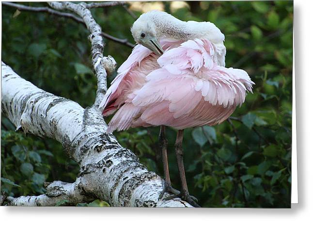 Roseate Spoonbill 18 Greeting Card