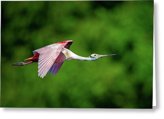 Greeting Card featuring the photograph Roseate Spoonbill by Jeff Phillippi
