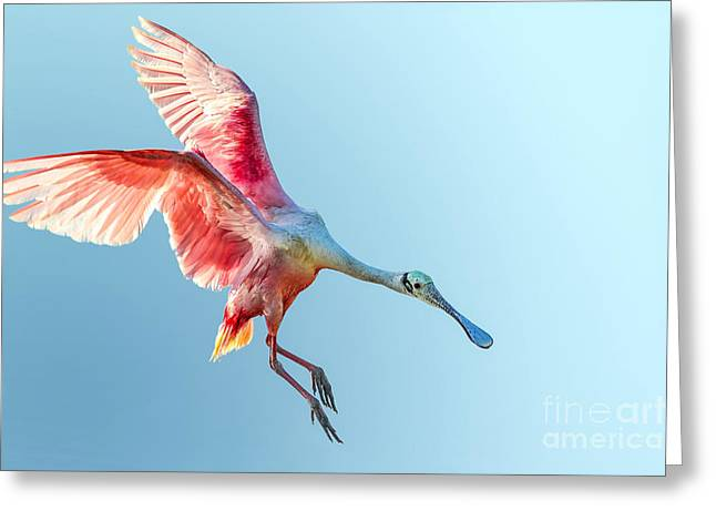 Roseate Spoonbill With Wings Flared And Greeting Card
