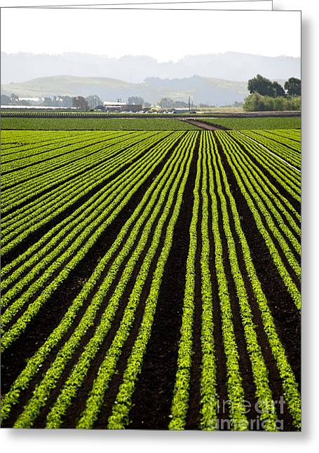 Rows Of Freshly Planted Lettuce In The Greeting Card by Dwight Smith