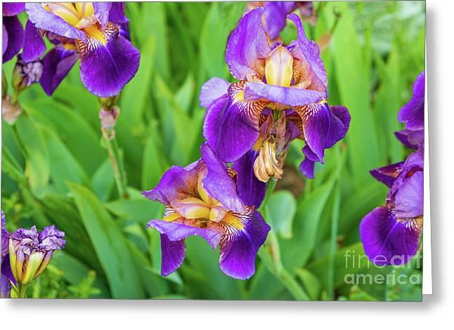 Royal Purple Irise Greeting Card