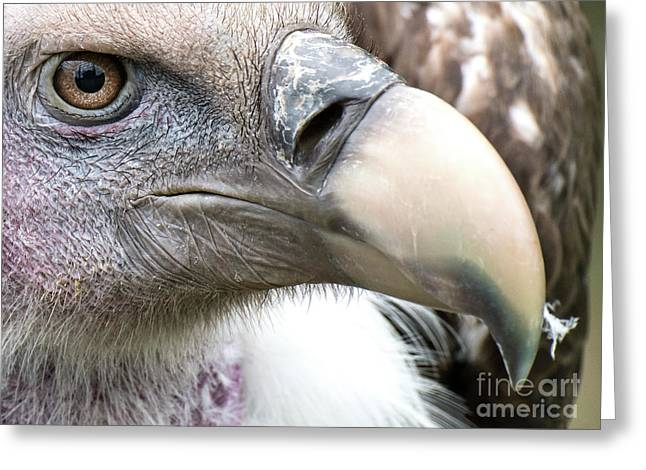 Ruppells Griffon Vulture Greeting Card
