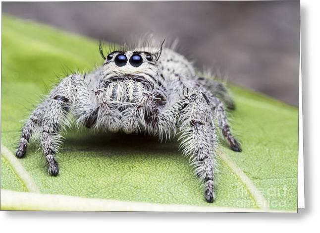 Salticus Scenicus Female Jumping Greeting Card