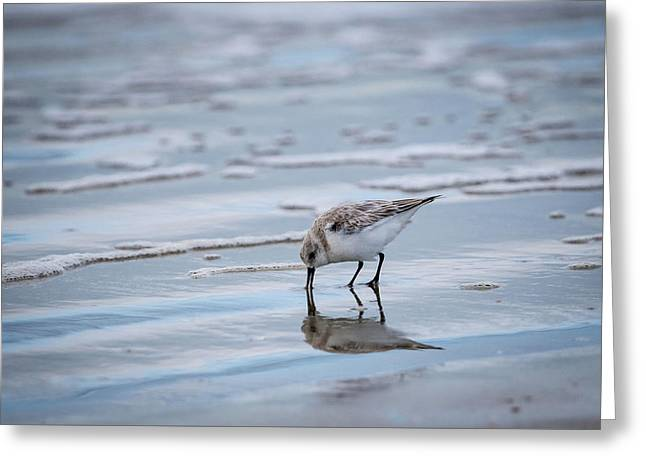 Greeting Card featuring the photograph Sanderling Foraging by Jeff Phillippi