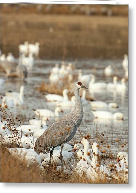 Sandhill Crane And Snow Geese, Bosque Greeting Card