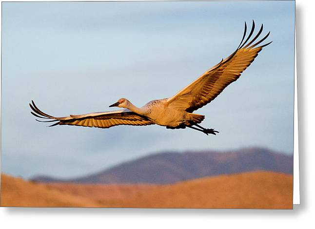 Greeting Card featuring the photograph Sandhill Crane by Nicole Young