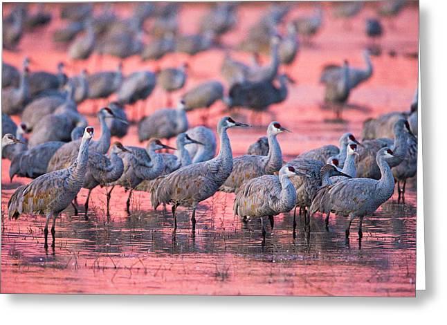 Sandhill Cranes On Lake At Sunset Greeting Card