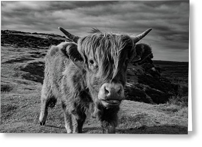 Saying Hello To A Highland Cow At Baslow Edge Black And White Greeting Card