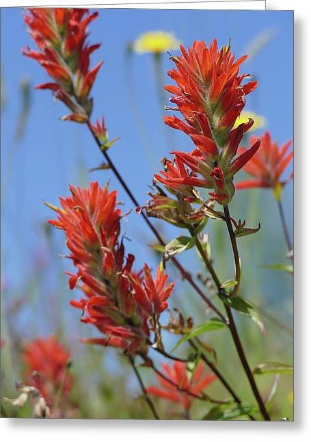 Scarlet Indian Paintbrush At Mount St. Helens National Volcanic  Greeting Card