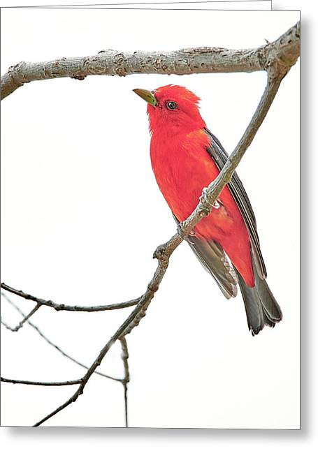 Scarlet Tanager Gives Me The Eye Greeting Card