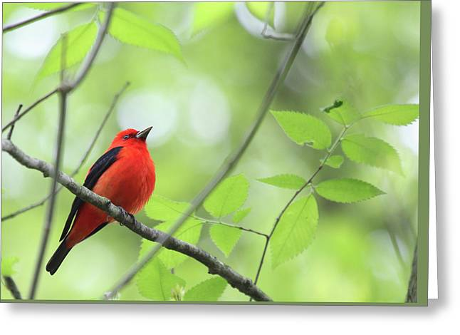 Greeting Card featuring the photograph Scarlet Tanager by Rick Veldman