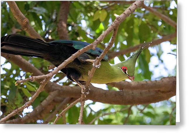 Schalow's Turaco Greeting Card