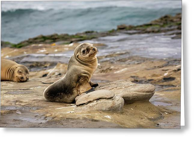 Sea Lion Pup Greeting Card by K Pegg