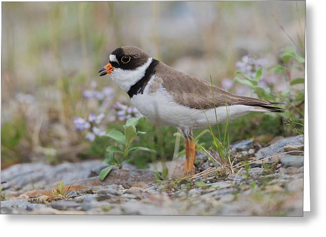 Semipalmated Plover Calling, Creek Bed Greeting Card by Ken Archer