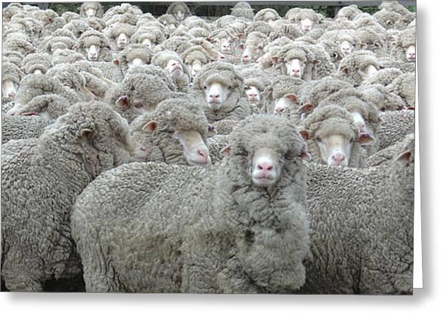 Sheep Looking Greeting Card by Lee Torrens