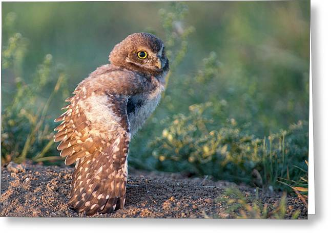 Shy Young Burrowing Owl Greeting Card
