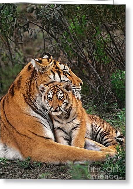 Siberian Tiger Mother And Cub Endangered Species Wildlife Rescue Greeting Card