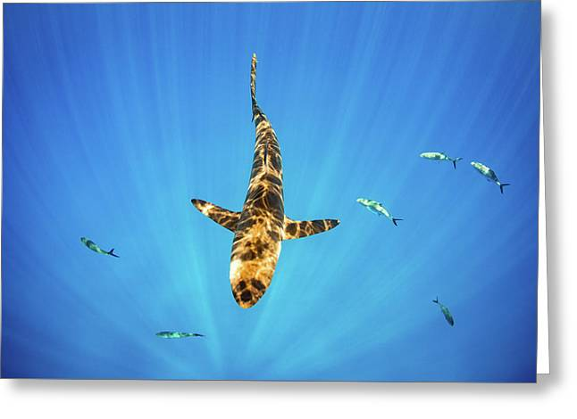 Greeting Card featuring the photograph Silky Shark by Nicole Young