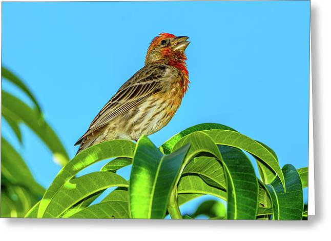 Singing House Finch Greeting Card