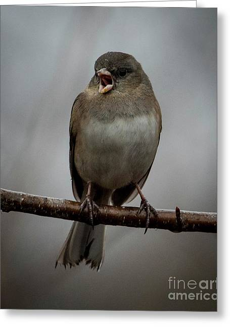 Singing Junco 1 Greeting Card