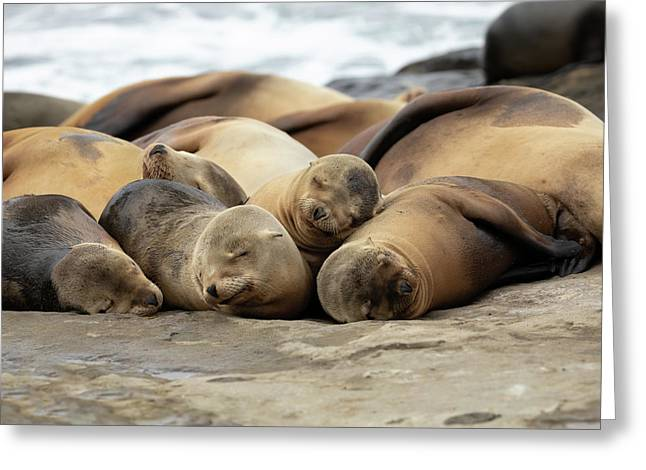 Sleeping Sea Lions Greeting Card by K Pegg