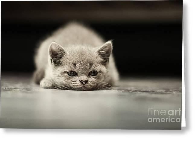 Sleepy British Kitten Over Black Greeting Card