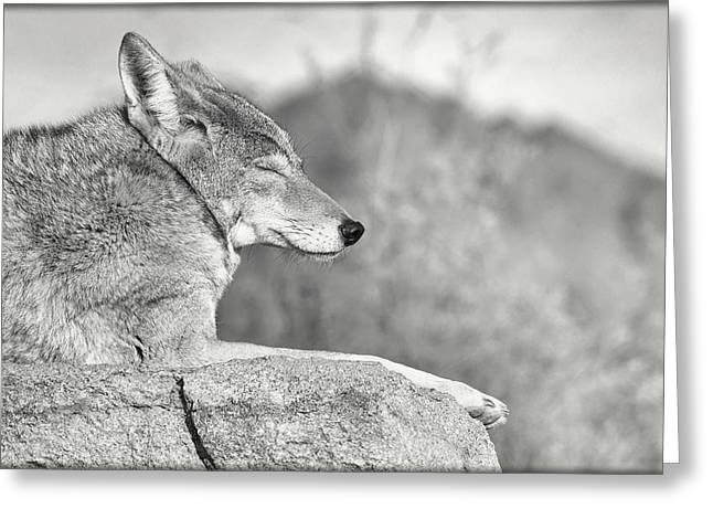 Sleepy Coyote Greeting Card