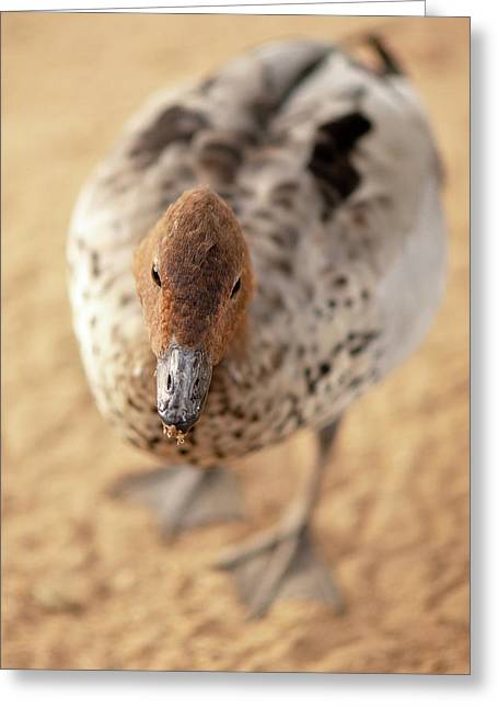 Small Duck On The Farm Greeting Card