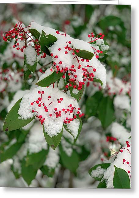 Snow Covered Winter Berries Greeting Card