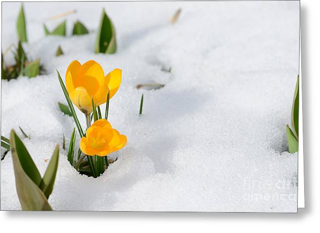 Snowdrops Crocus Flowers In The Snow Greeting Card