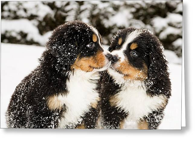 Snowy Bernese Mountain Dog Puppets Greeting Card