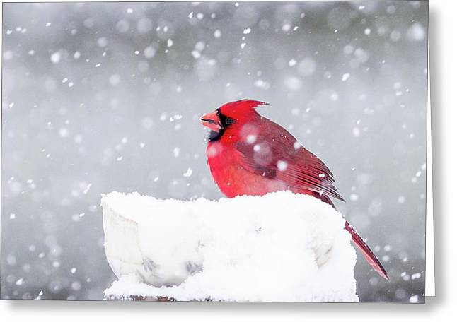 Greeting Card featuring the photograph Snowy Cardinal by Lori Coleman