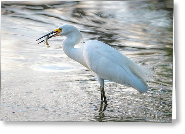 Snowy Egret With Dinner Greeting Card