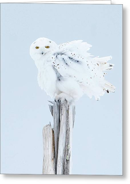 Snowy Owl Feather Shake Greeting Card