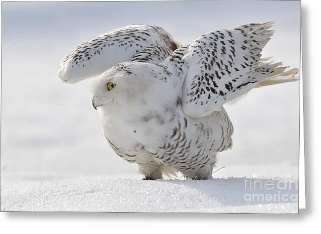 Snowy Owl Flap Wings Greeting Card
