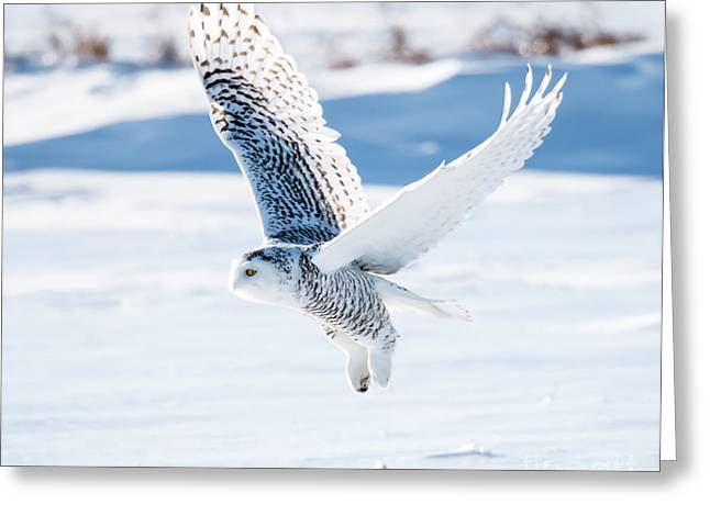 Snowy Owl In Flight Greeting Card