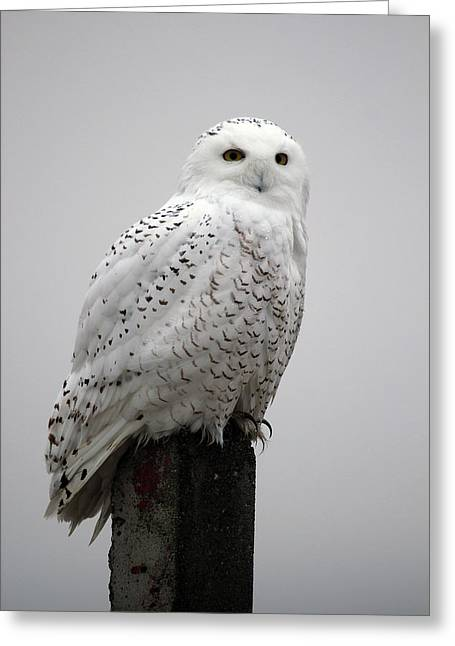 Greeting Card featuring the photograph Snowy Owl In Fog by Rick Veldman