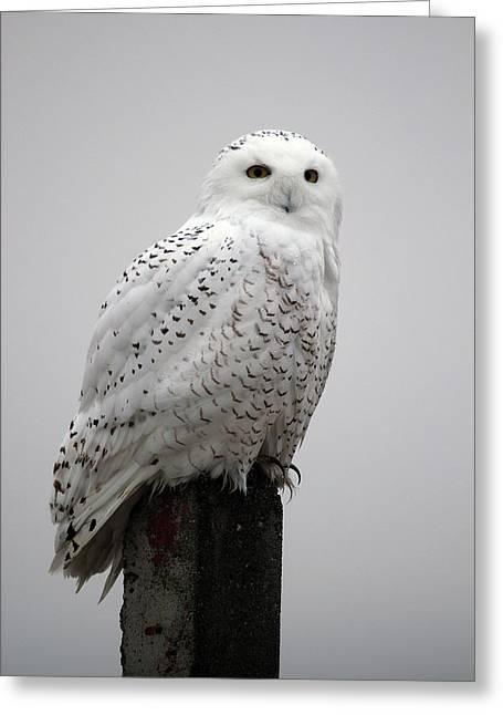 Snowy Owl In Fog Greeting Card