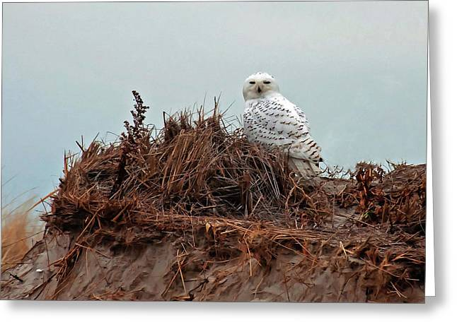 Snowy Owl In The Dunes Greeting Card