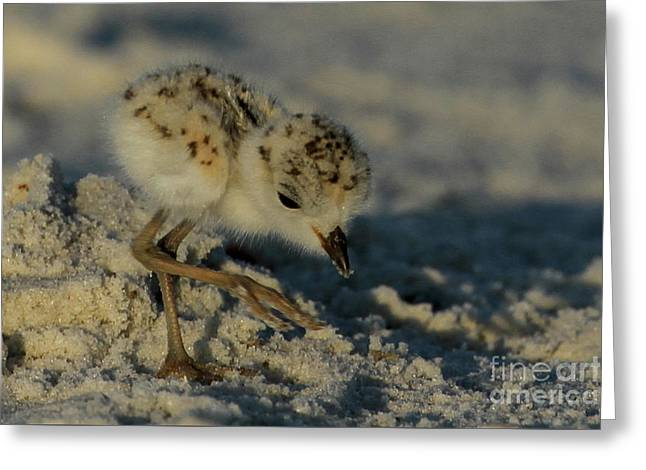 Snowy Plover On The Hunt Greeting Card